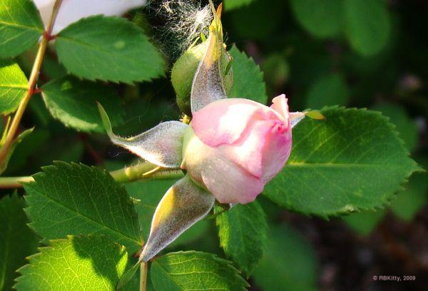 Roses are.... still pretty