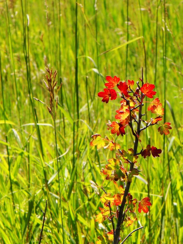 red wetlands plant