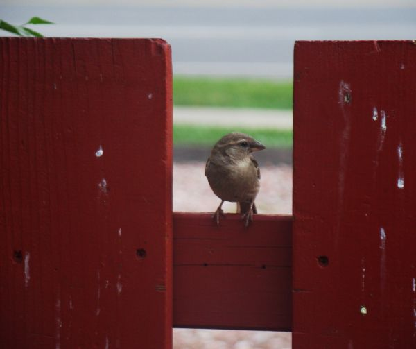 Somebodys watching me-bird on red fence