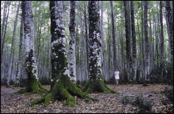 Bosque de hayas (Navarra)