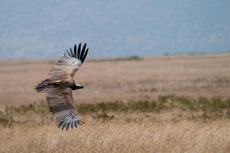 Vulture in Serengeti