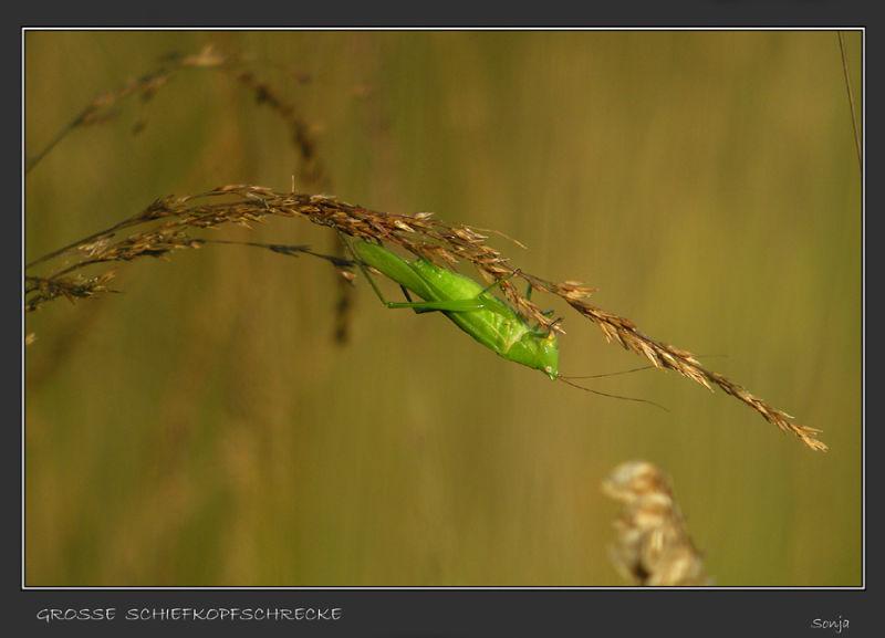 Schiefkopfschrecke