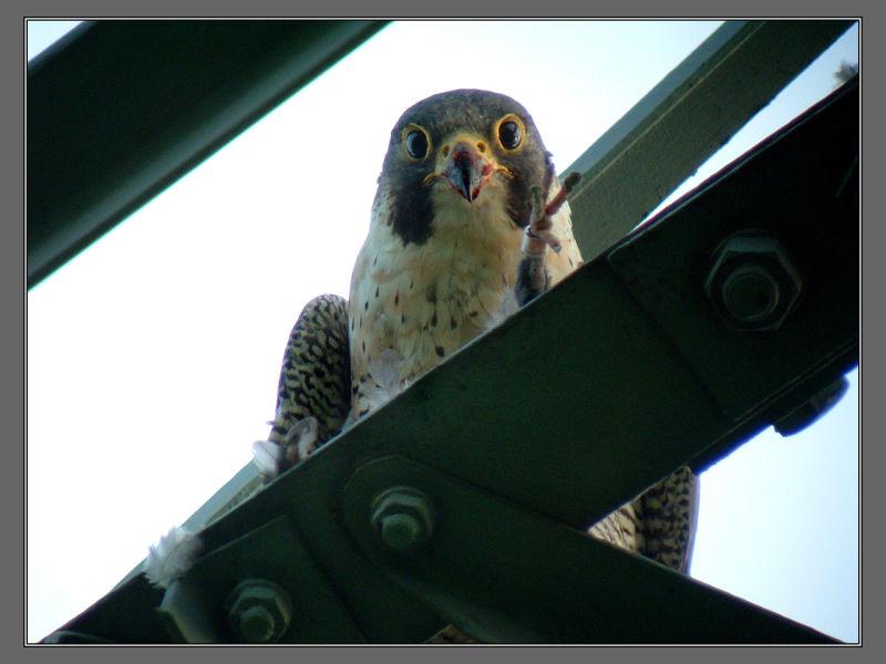 Peregrino Falcon 2