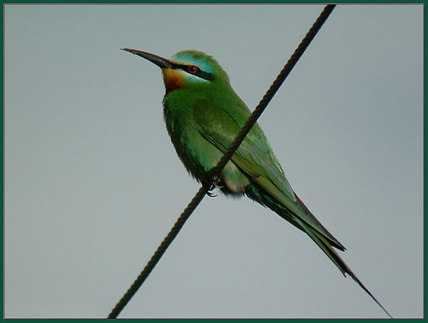 Blue-checked Bee-eater