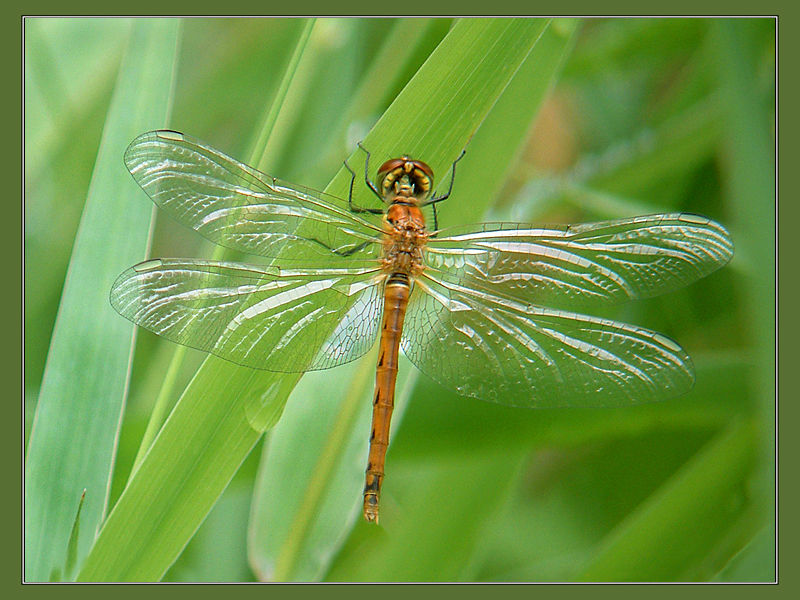 Sumpf-Heidelibelle / Weibchen