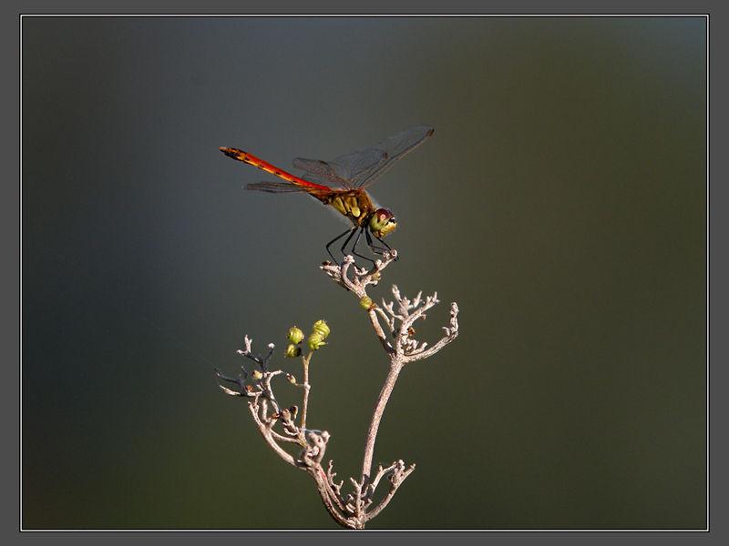 Sumpfheidelibelle - Männchen