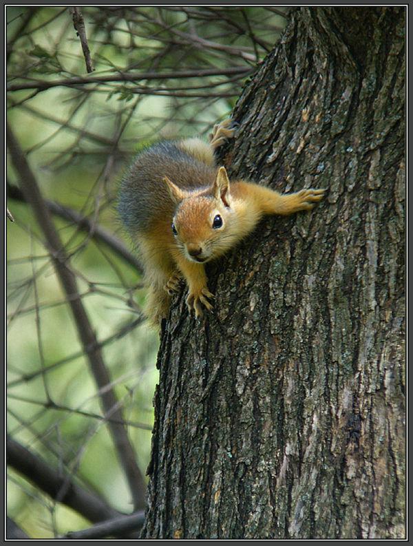 Persisches Eichhörnchen