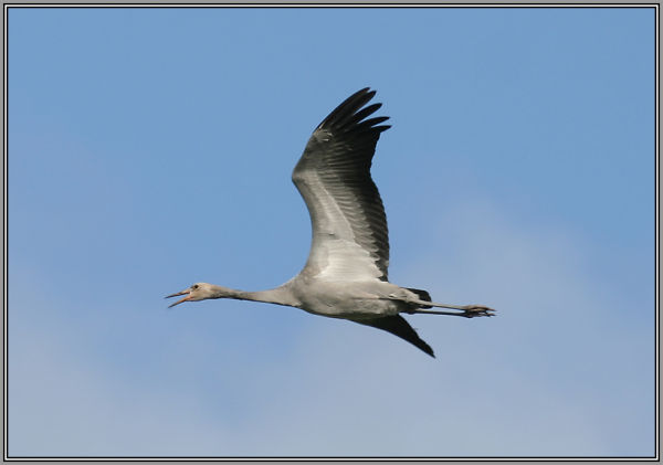 young flying Crane