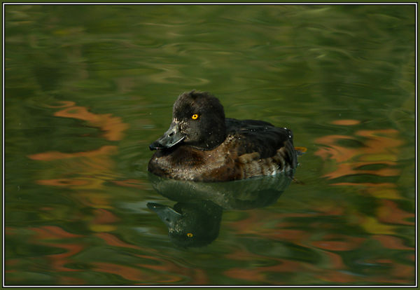 Tufted Duck (female) in autumn