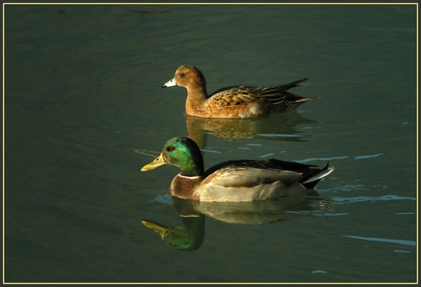 Wigeon  (female)  and Mallard
