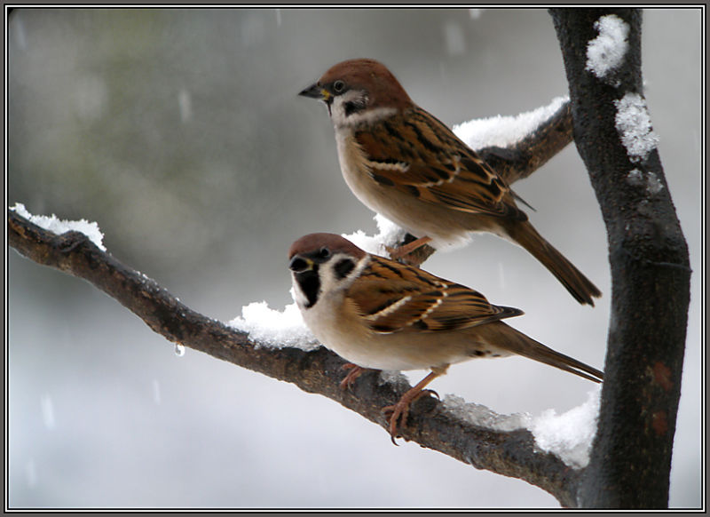 Tree Sparrows and the first snow !