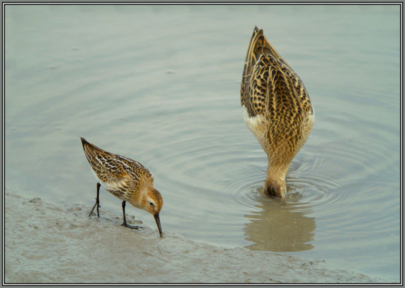 Little Stint and Reeve