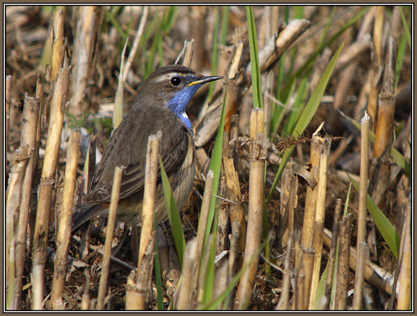 Bluethroat 1/2