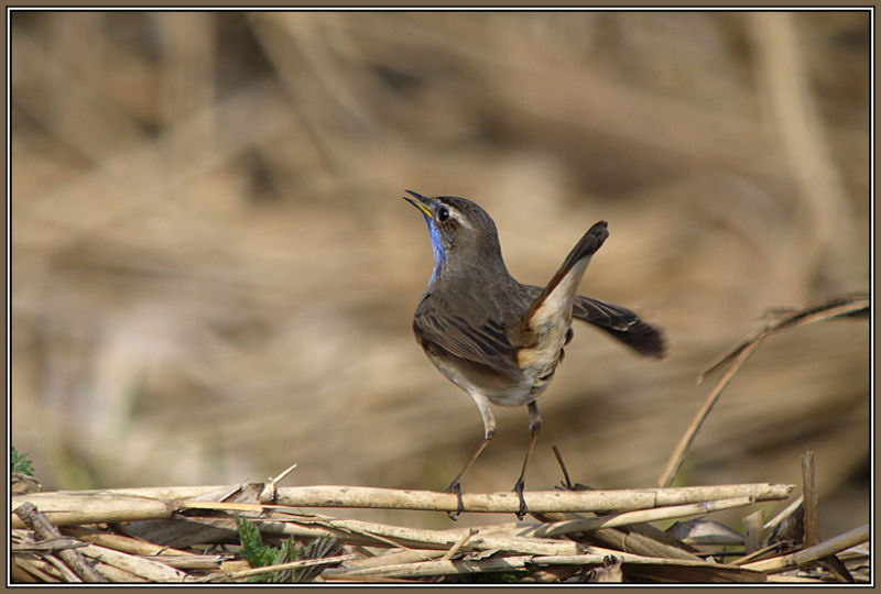 Blue Throat 2/2