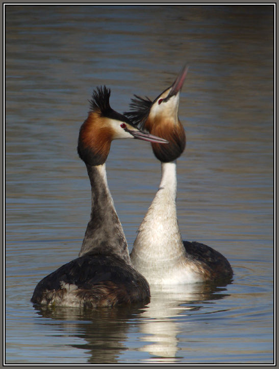 Great Crested Grebe in Love 2/4