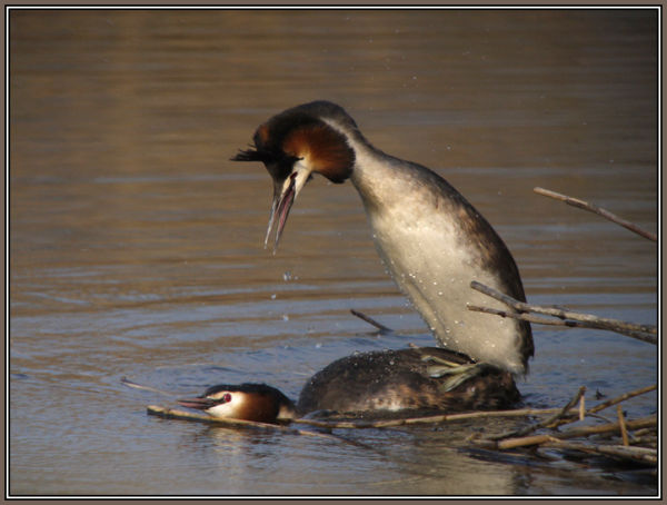 Great Crested Grebe in Love 4/4