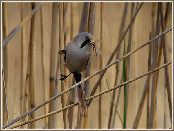 Bearded Tit 1/2