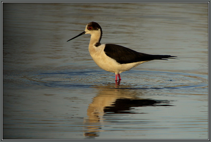 Black-winged Stilt 1/2