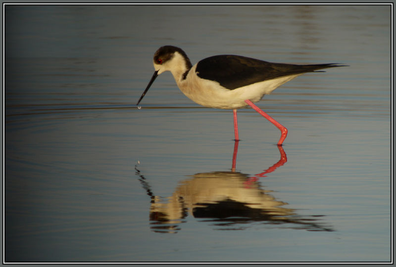 Black-winged Stilt 2/2