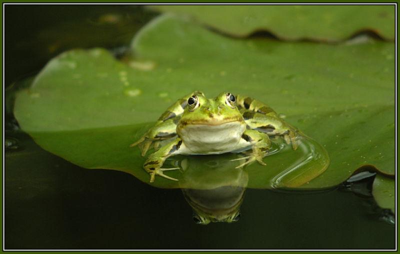 Edible frog (Rana esculenta) 1/2