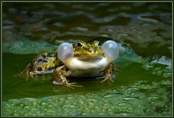 Edible frog (Rana esculenta) 2/2