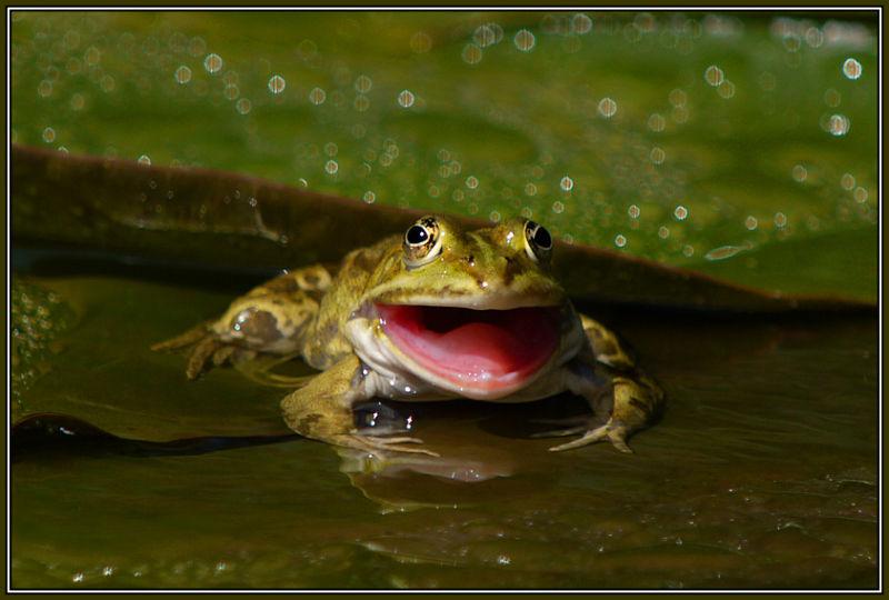 Edible frog (Rana esculenta) 3