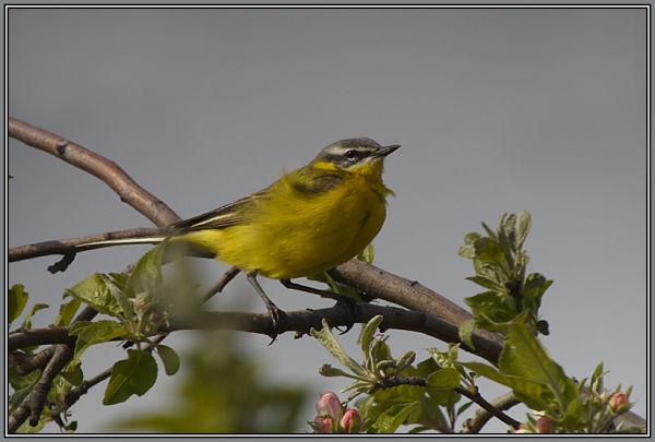 Yellow Wagtail 1/2