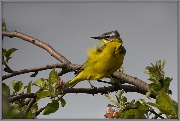 Yellow Wagtail 2/2