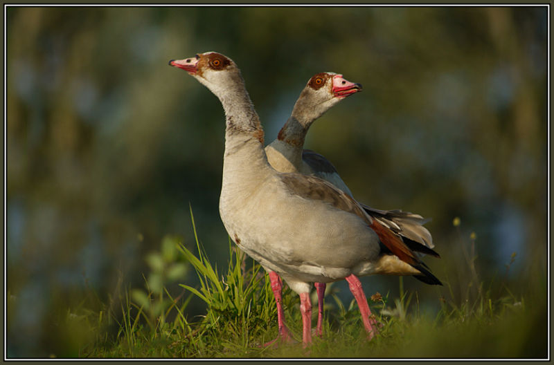 Egyptian Gooses