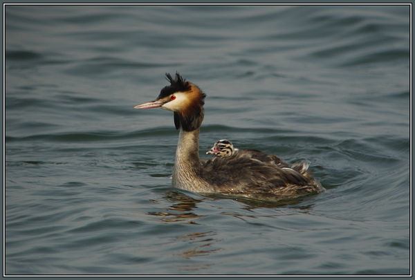 Great Crested Grebe with his (or her) child