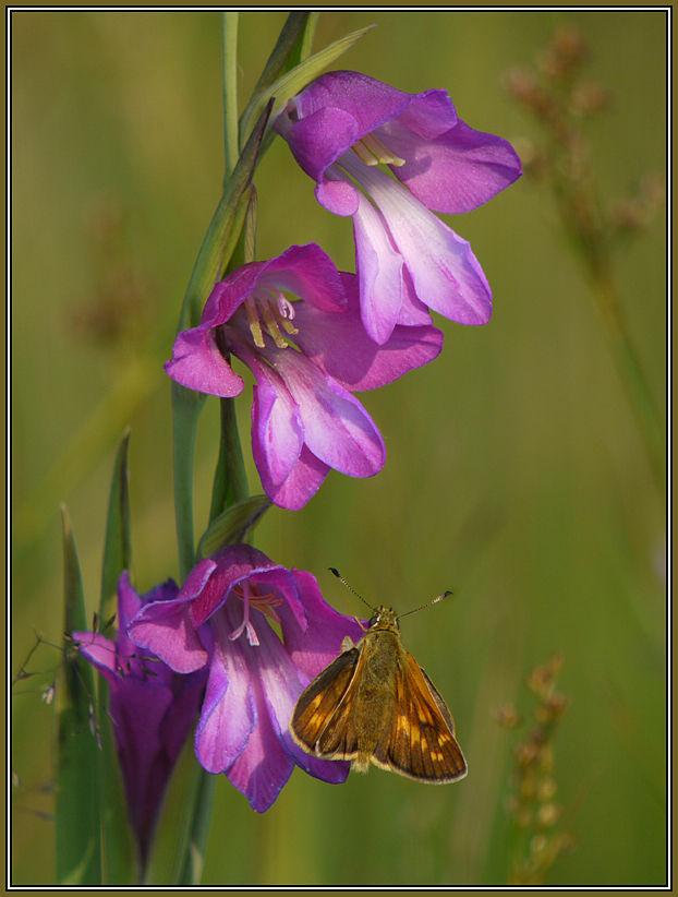 Sumpfgladiole  (Gladiolus palustris)