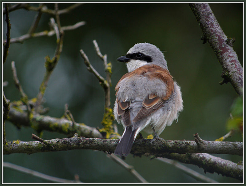 Red-backed Shrike Male 2/2