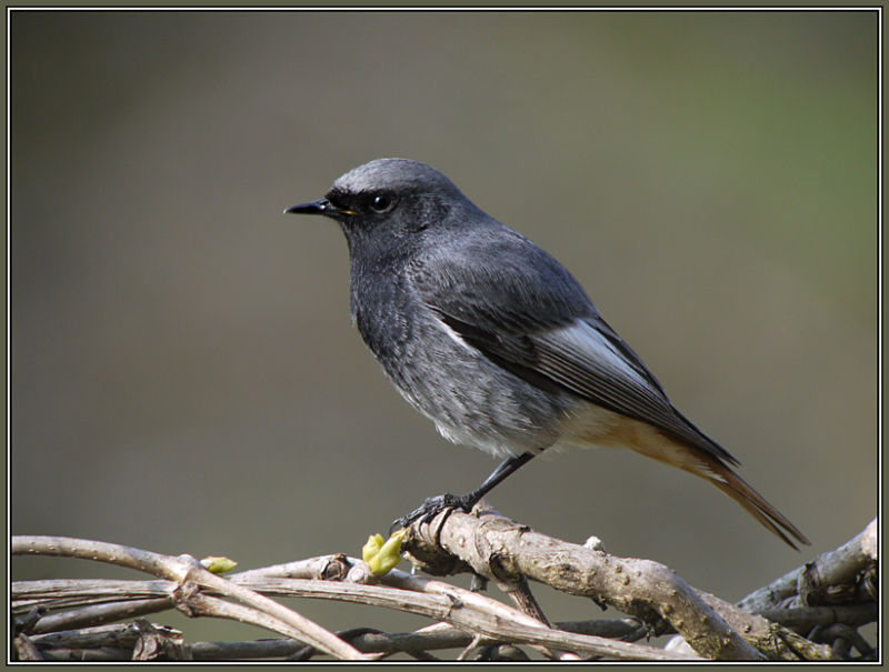 Black Redstart-Male