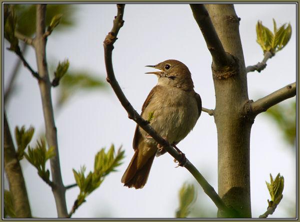 Nightingale 1/2