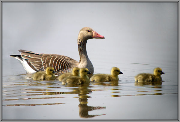 Greylag Goose with her sweet chicks