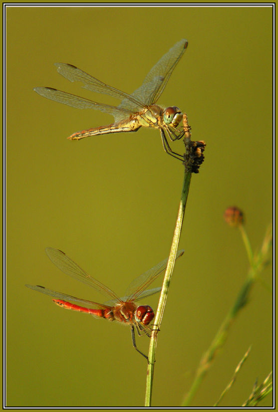 red-veined darter - female and male