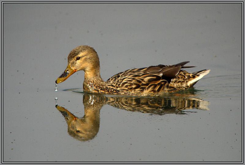 Mallard Female
