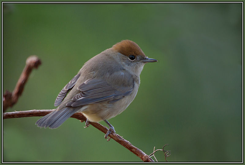 Blackcap - Female     Sylvia atricapilla