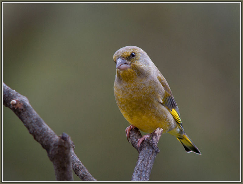 Greenfinch - Male          Carduelis chloris