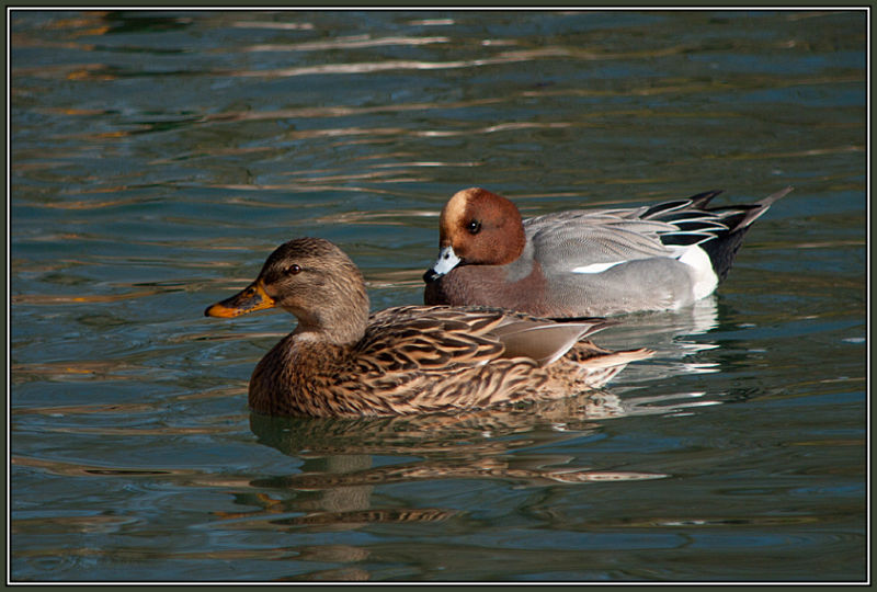 Mallard Female and Wigeon Male