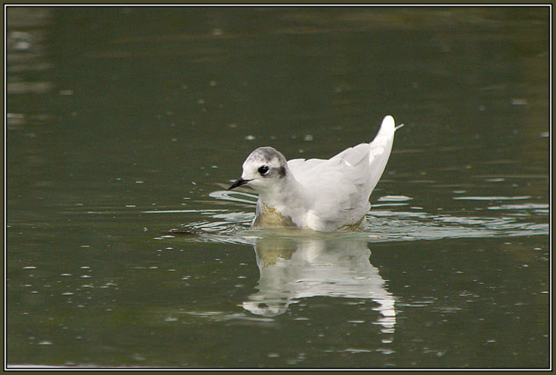 Little Gull  1/2     (Larus minutus)