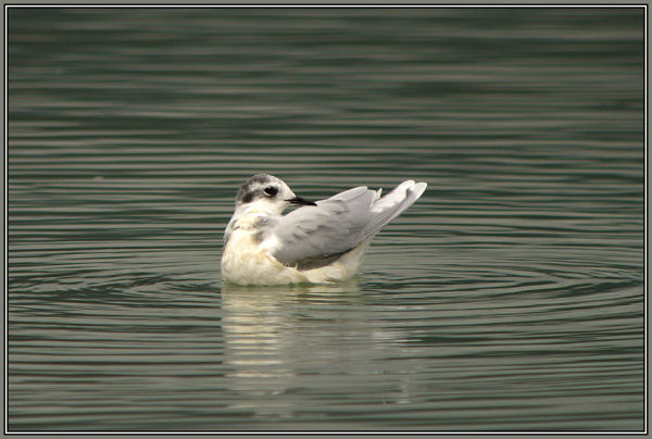 Little Gull  2/2     (Larus minutus)