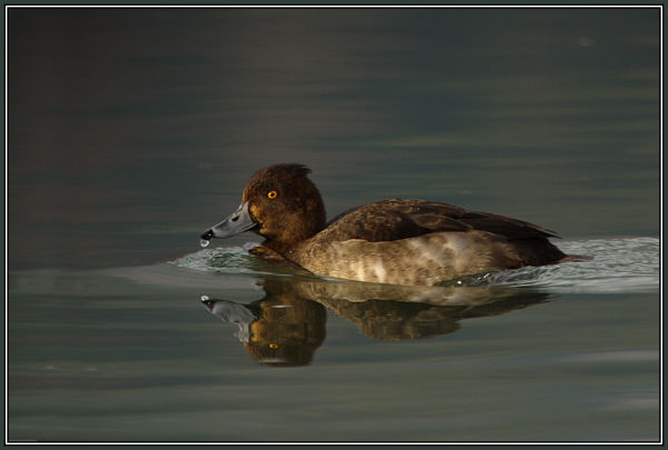 Tufted Duck - Female   (Aythya fuligula)