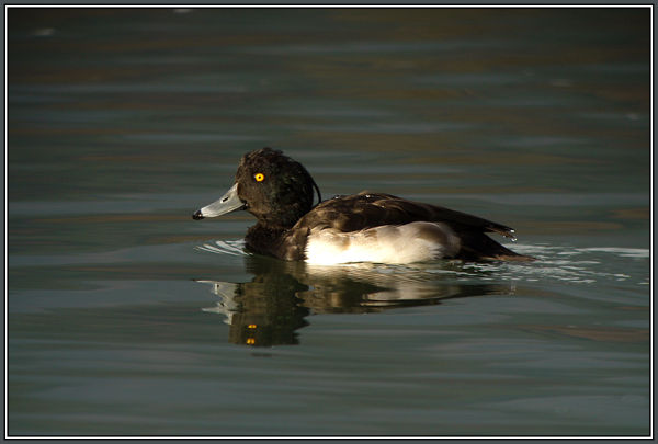 Tufted Duck - Male   (Aythya fuligula)