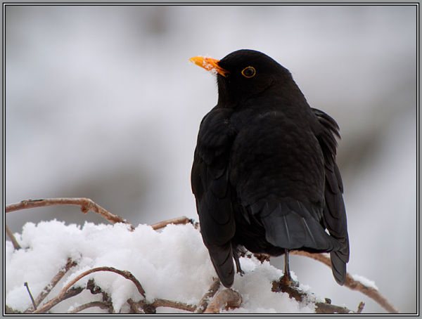 Blackbird - Male  (Turdus merula)