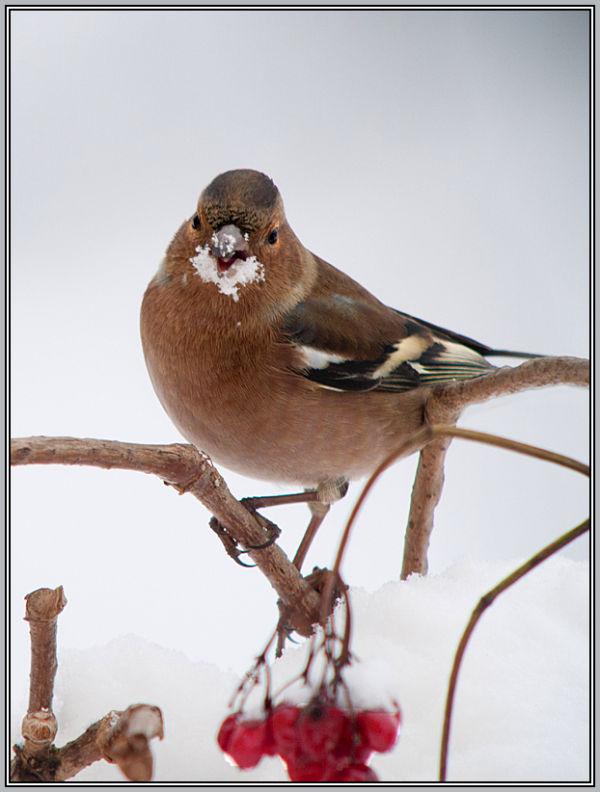 Chaffinch - Male    ( Fringilla coelebs)