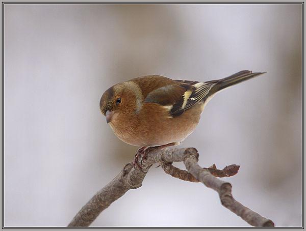 Chaffinch - Male    (Fringilla coelebs)