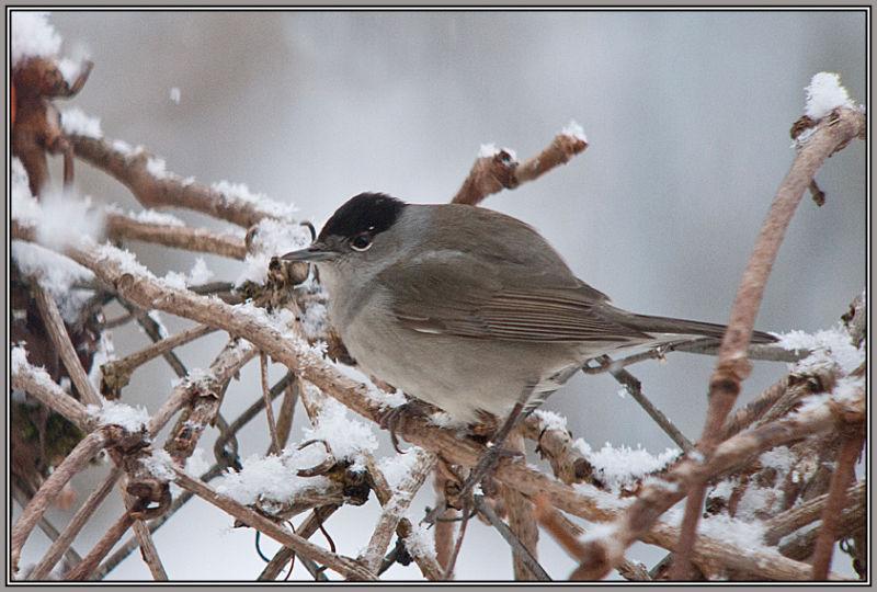 Blackcap - Male (Sylvia atricapilla)