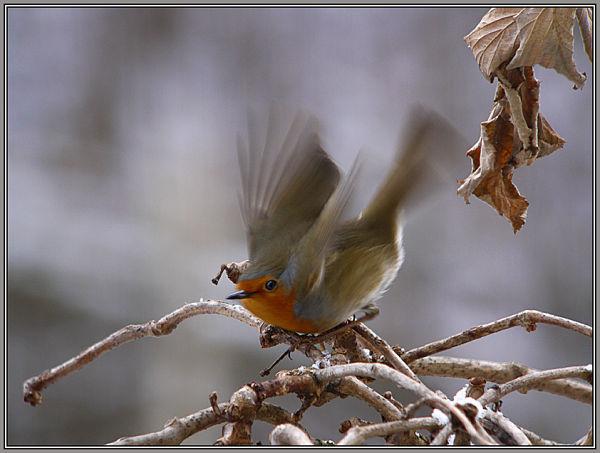 Robin 2/2      Erithacus rubecula