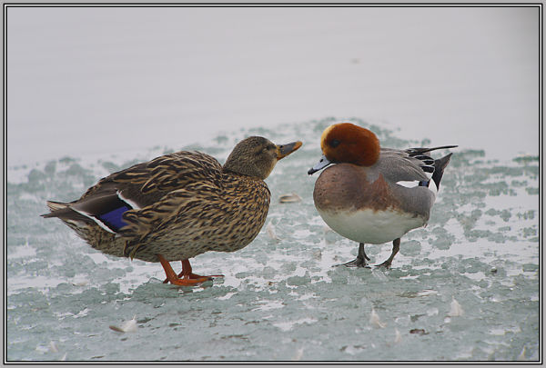 Wigeon - Male  and his girl friend !